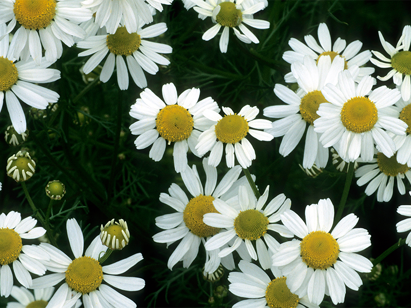 That old classic chamomile is not only good in tea but a great herb to help you sleep