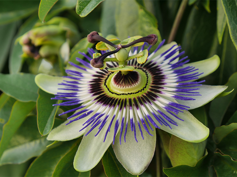 Named for it's appearance the Passionflower is a powerful herb to help you sleep